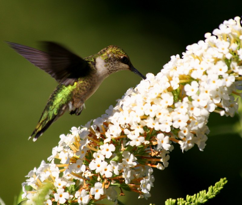 Hummingbird - Колибри